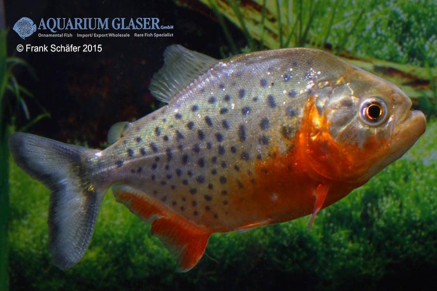 Pygocentrus nattereri - Roter Piranha 3