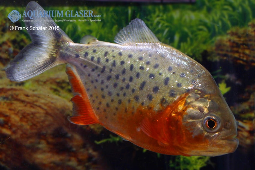 Pygocentrus nattereri - Roter Piranha 4