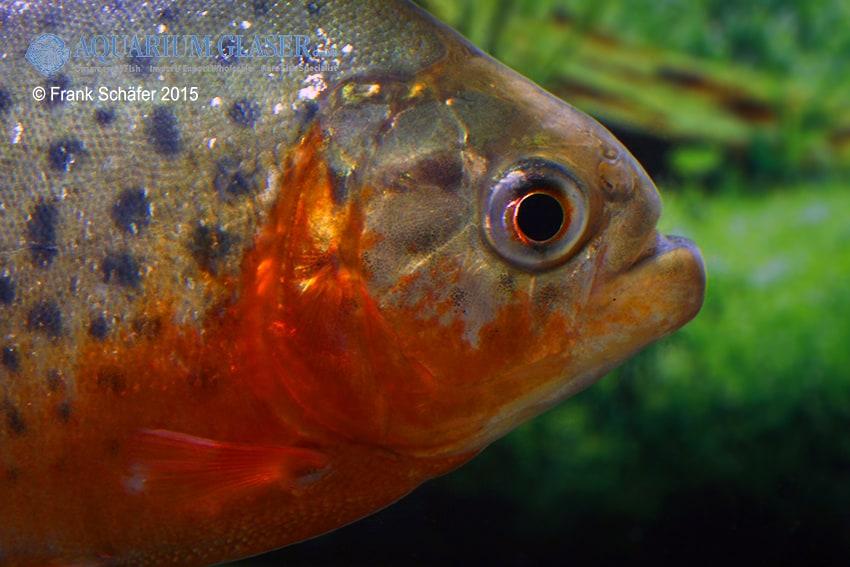 Pygocentrus nattereri - Roter Piranha 5