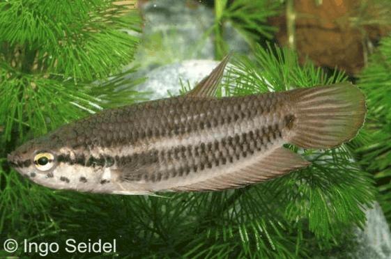 Betta falx - Sumatra-Kampffisch 1