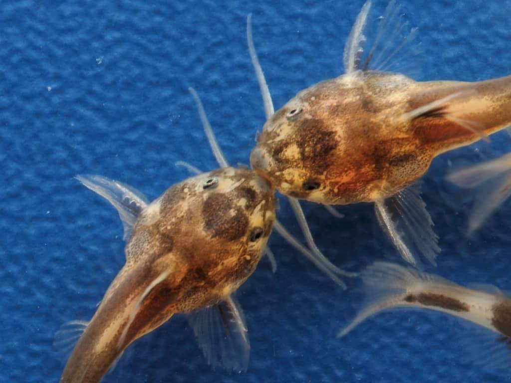 Synodontis polli 3