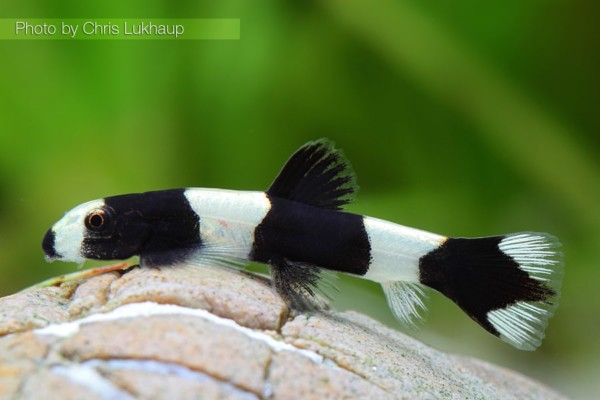 Yaoshania pachychilus Panda Schmerle