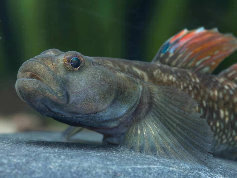 Rhinogobius szechuanensis ist eine seltene Grundel-Art, bei bei my-fish nachgezüchtet werden kann. Veröffentlichung nur in Verbindung mit dazugehörendem Dokument honorarfrei Copyright: WZF