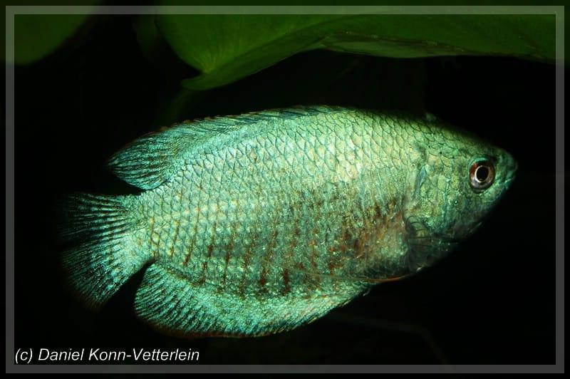 Colisa lalia - Zwergfadenfisch 10