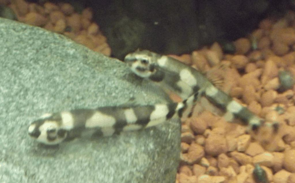 Zuchtaktion 1: Yaoshania pachychilus - Panda Schmerle 9
