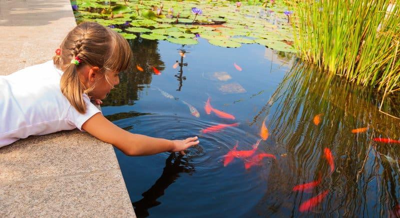 Presse my fish for Koi mit goldfischen