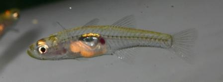 Gobiopterus chuno - Glasgrundel 1