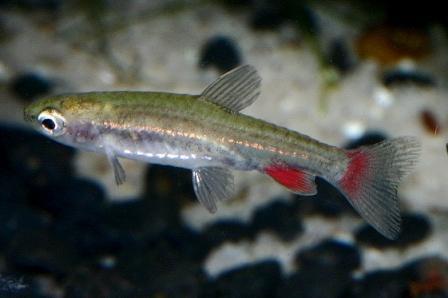 Nannostomus anduzei 1