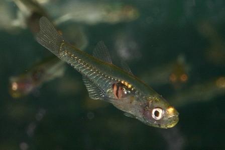 Gobiopterus chuno - Glasgrundel 2