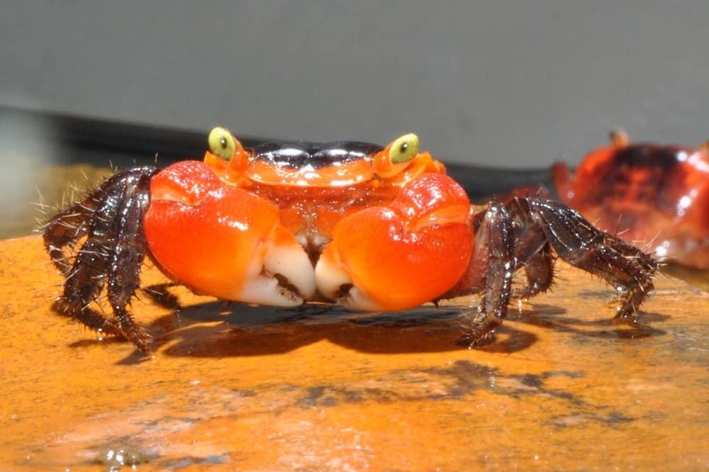 Metasesarma aubryi - Apple-Crab 2