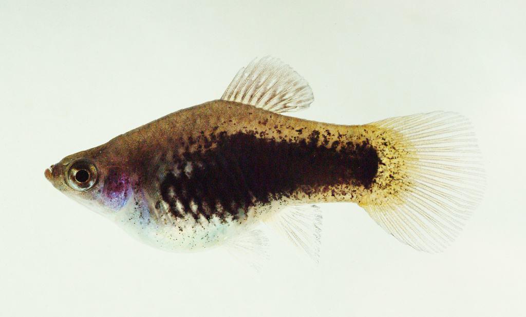 Xiphophorus maculatus, auch Platy oder Spiegelkärpfling genannt. Wissenschaftler haben jetzt sein Genom entziffert und sind dabei auf einige Überraschungen gestoßen. Foto: Manfred Schartl