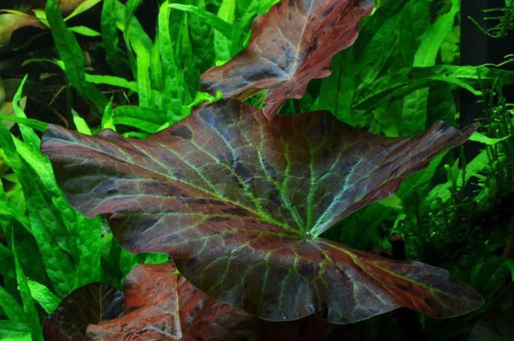 Nymphaea lotus 1