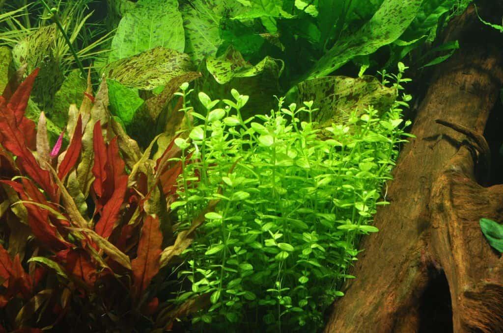 Lindernia rotundifolia 2