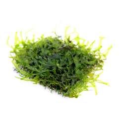 Monosolenium tenerum 4