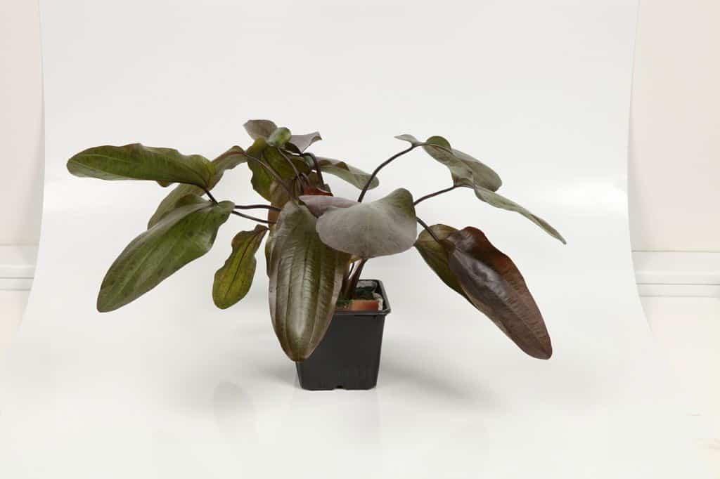 Echinodorus 'Ozelot' 2