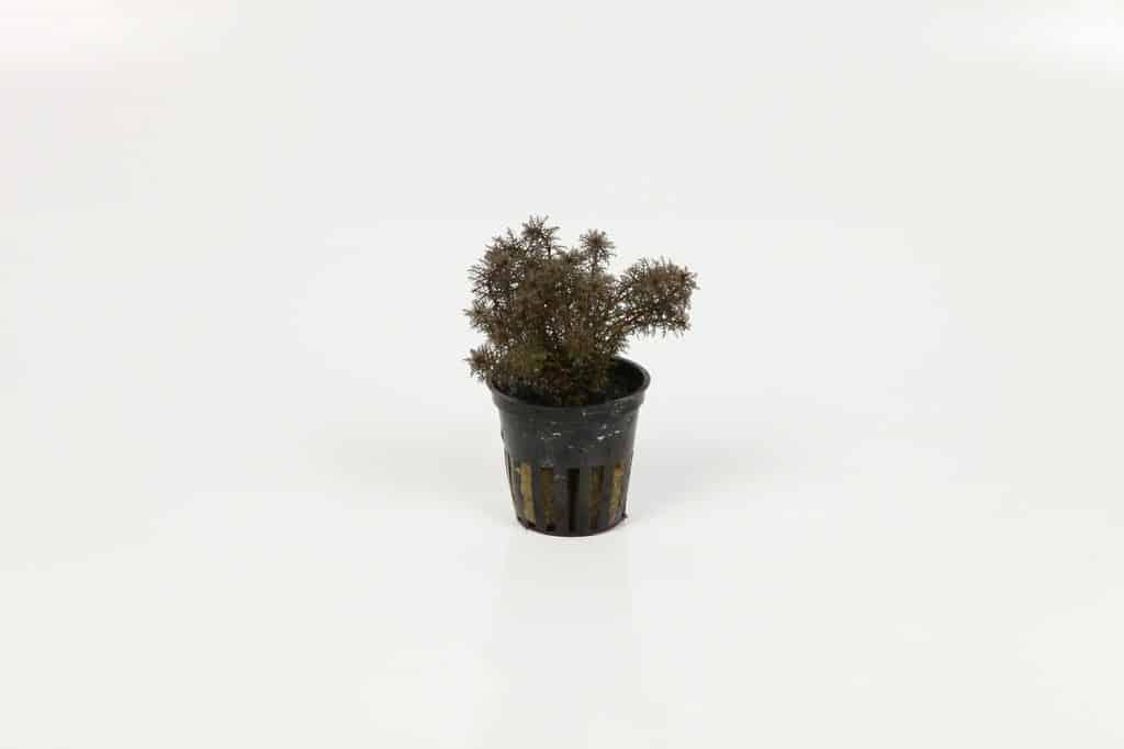 Myriophyllum mattogrossense 'Red' 2
