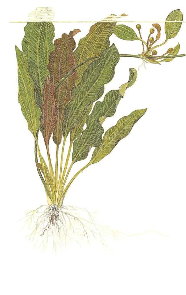 Echinodorus osiris 2