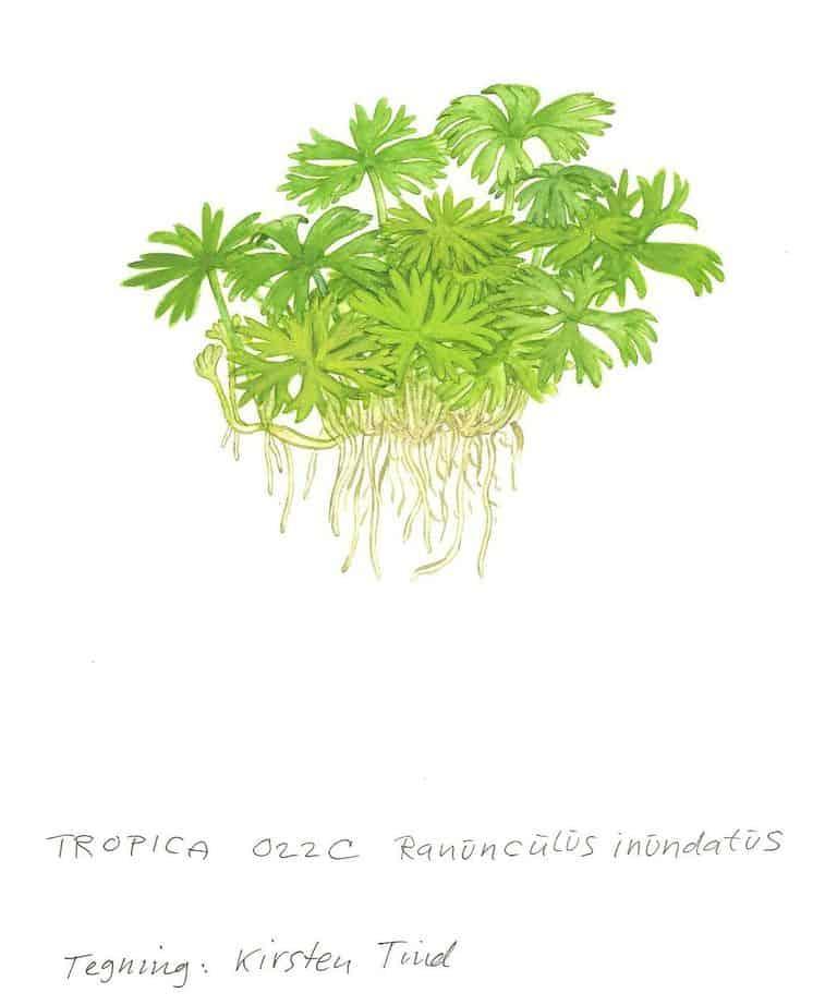 Ranunculus inundatus 2