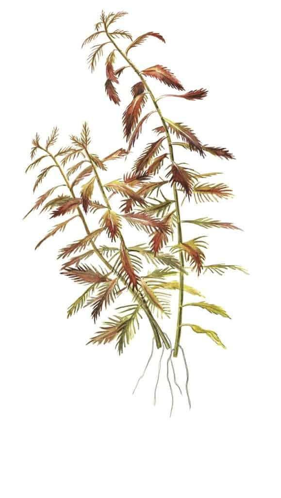 Proserpinaca palustris ''Cuba'' 2