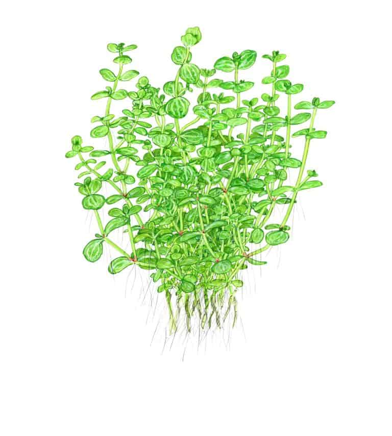 Lindernia rotundifolia 1