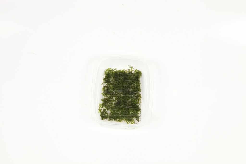 Riccardia chamedryfolia 2