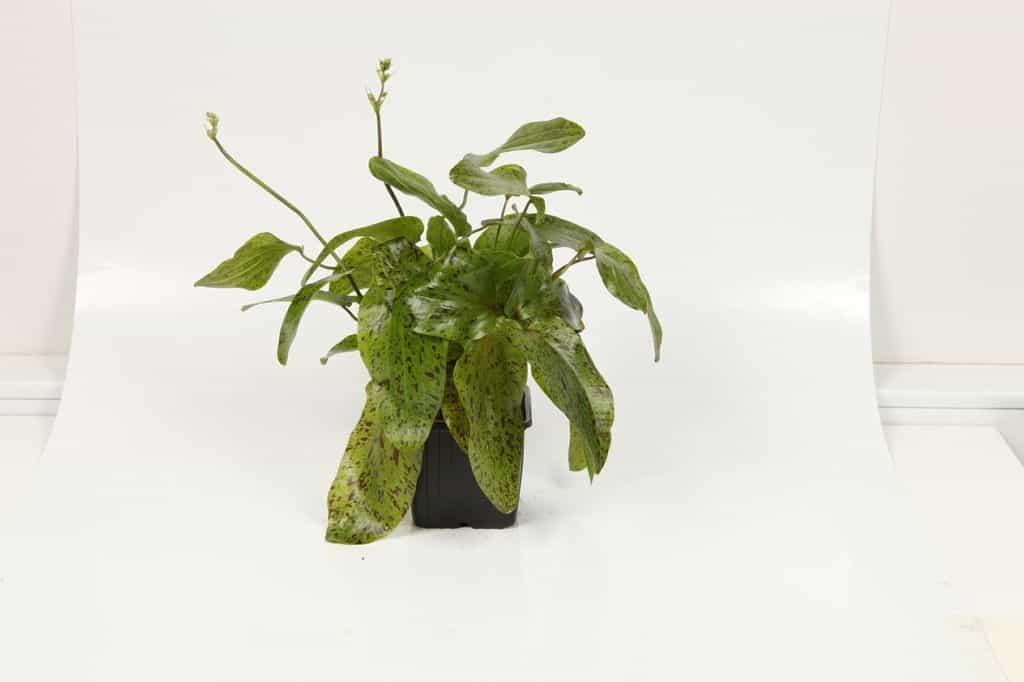 Echinodorus 'Ozelot Green' 2