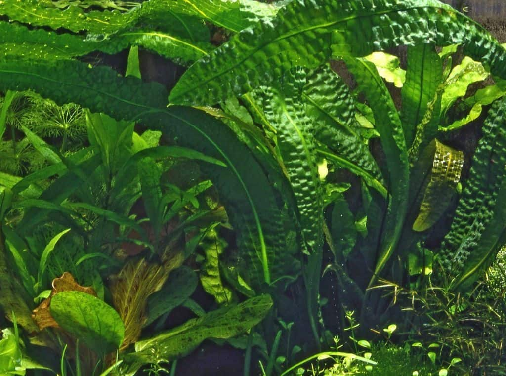 Aponogeton boivinianus 1