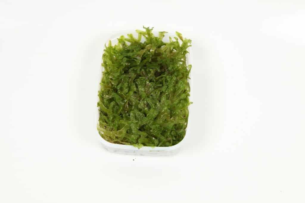 Monosolenium tenerum 2
