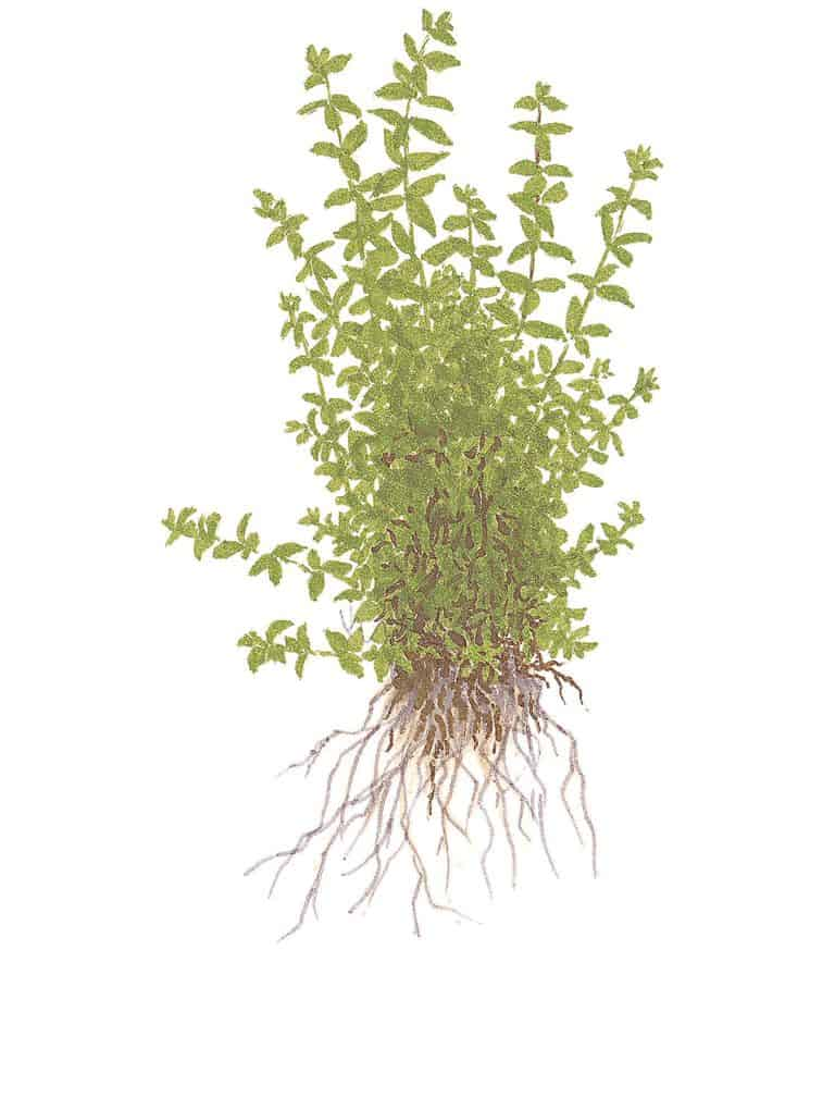 Hemianthus micranthemoides 2