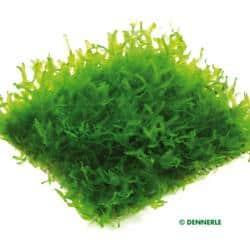 Monosolenium tenerum 5
