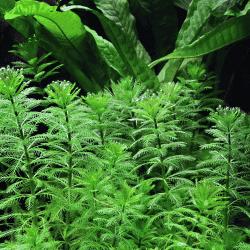 Myriophyllum mattogrossense 4