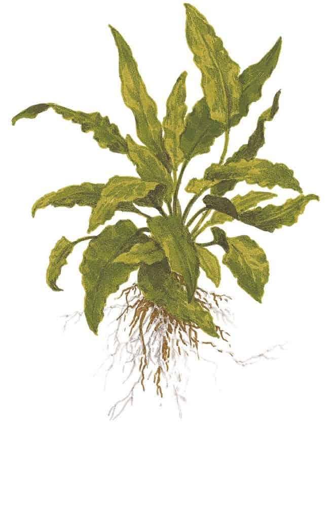 Cryptocoryne wendtii ''green'' 2