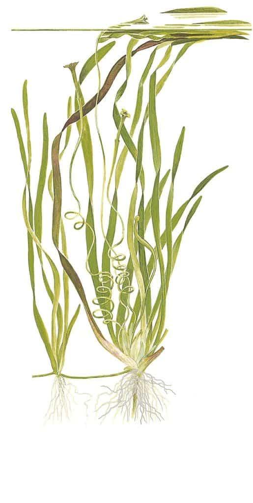 Vallisneria sp. 'Natans' 2