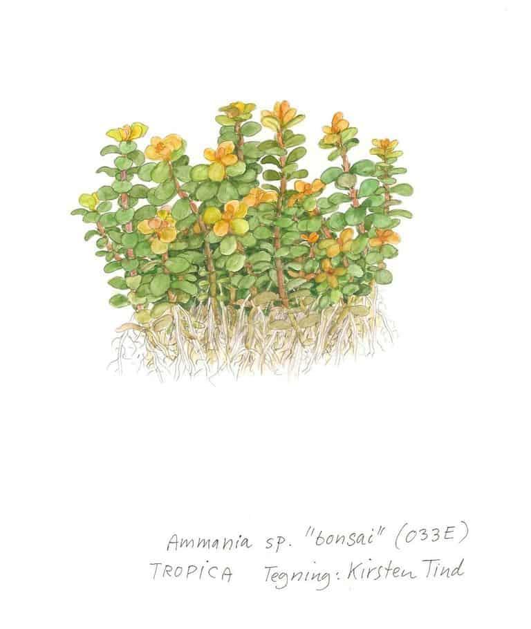 Ammania sp. 'Bonsai' 3