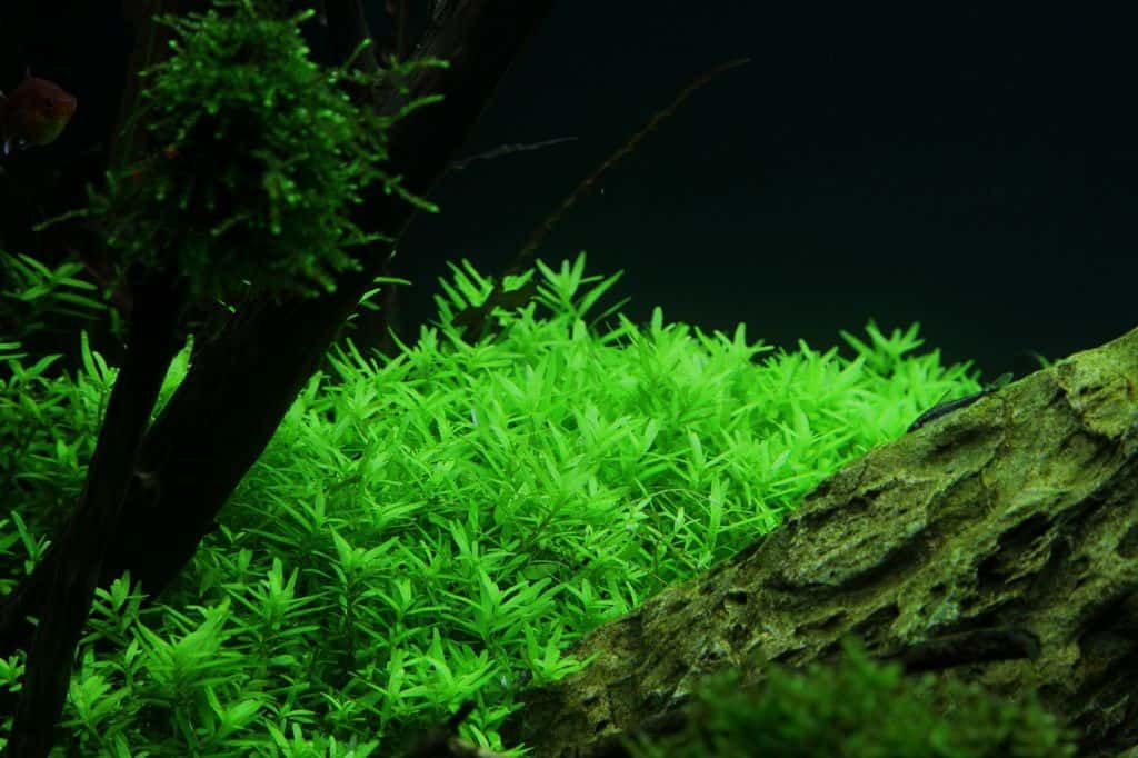 Rotala sp. ''green'' 1