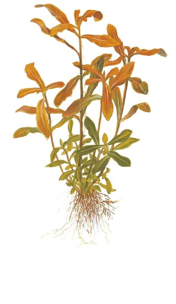 Nesaea crassicaulis 2