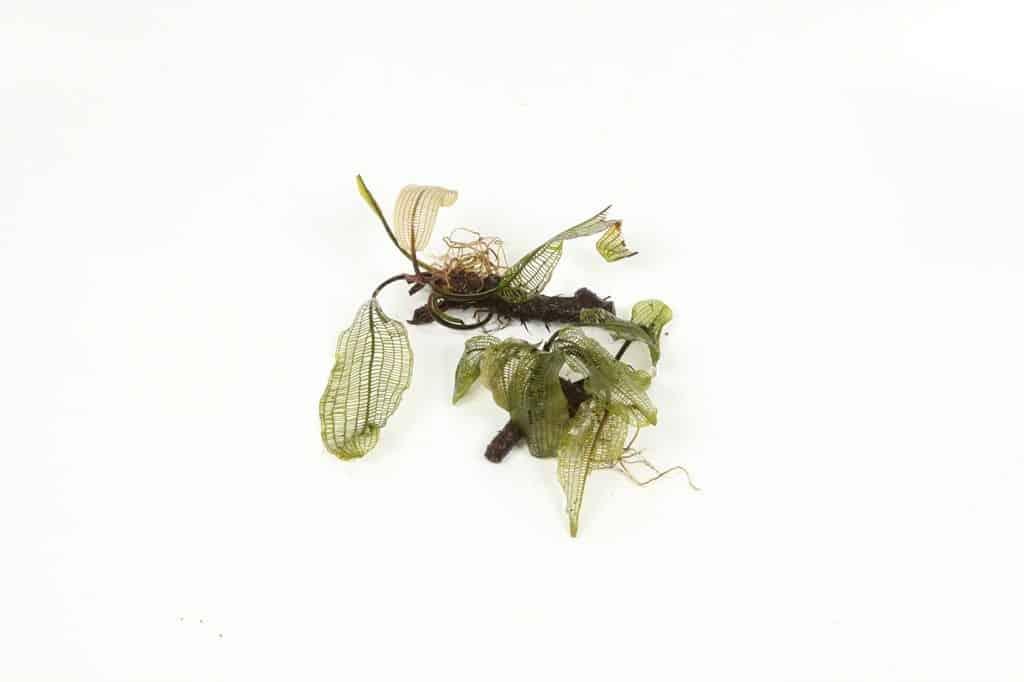 Aponogeton madagascariensis 2