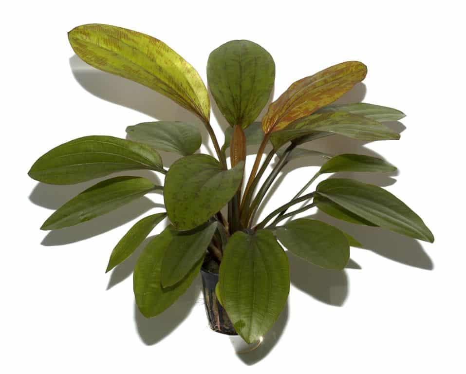 Echinodorus 'Rosé' 2