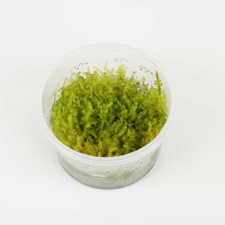Vesicularia dubyana 'Christmas' 3