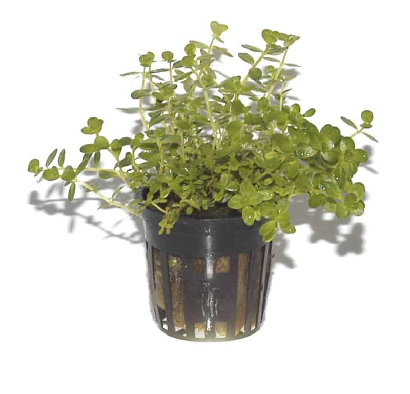 Rotala sp. ''green'' 3