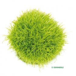 Utricularia graminifolia 3