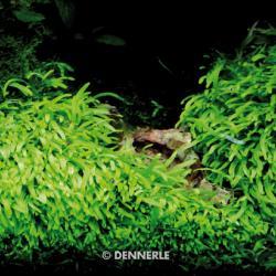Utricularia graminifolia 4