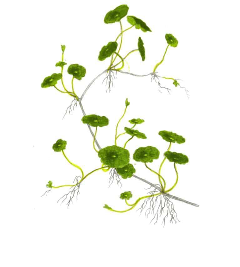 Hydrocotyle verticillata 2