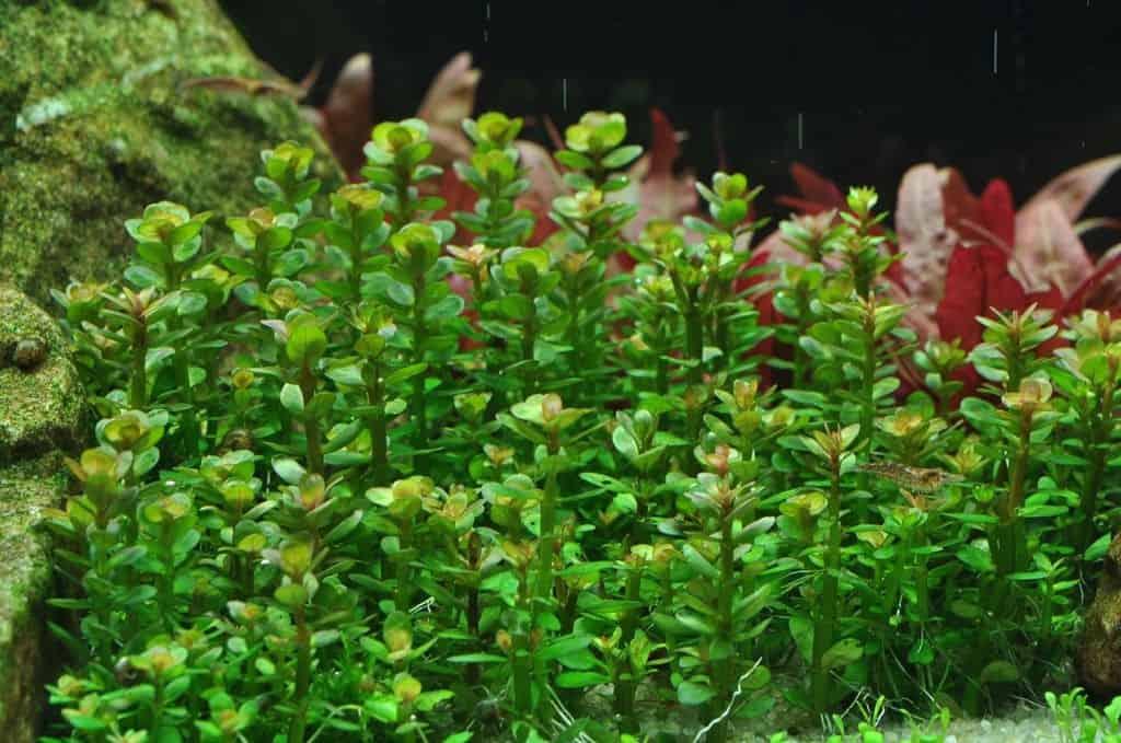 Ammania sp. 'Bonsai'