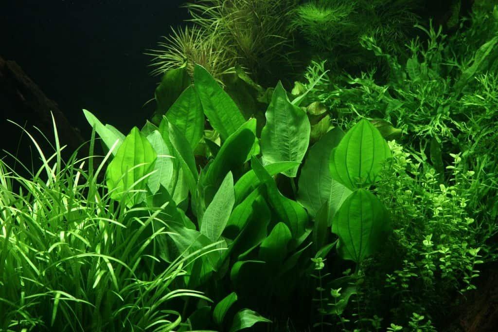Echinodorus palaefolius var. latifolius 2