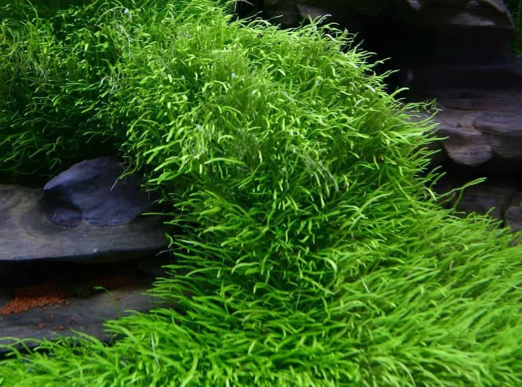 Utricularia graminifolia 2
