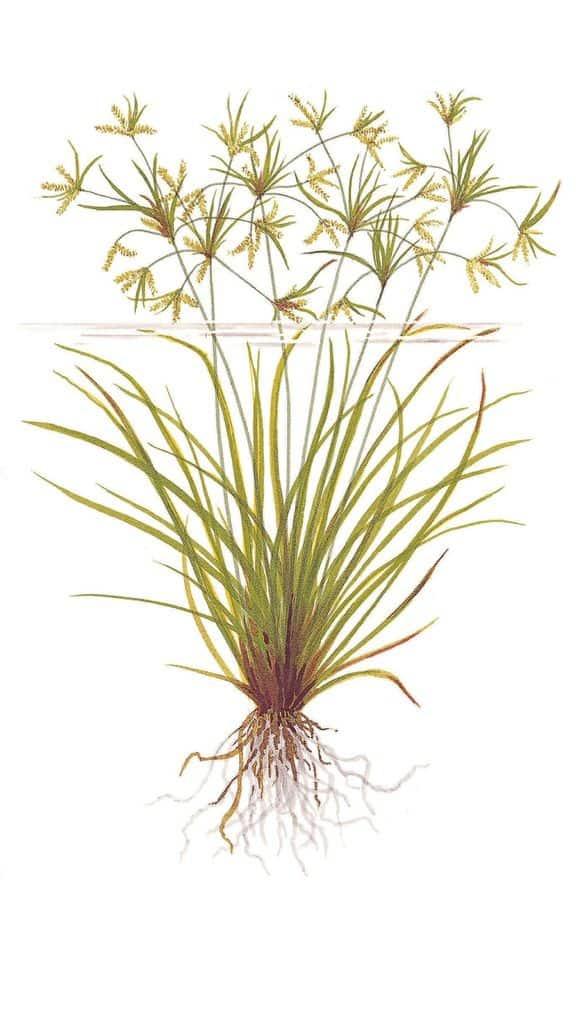 Cyperus helferi 1