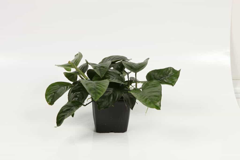 Anubias barteri var. caladiifolia 3