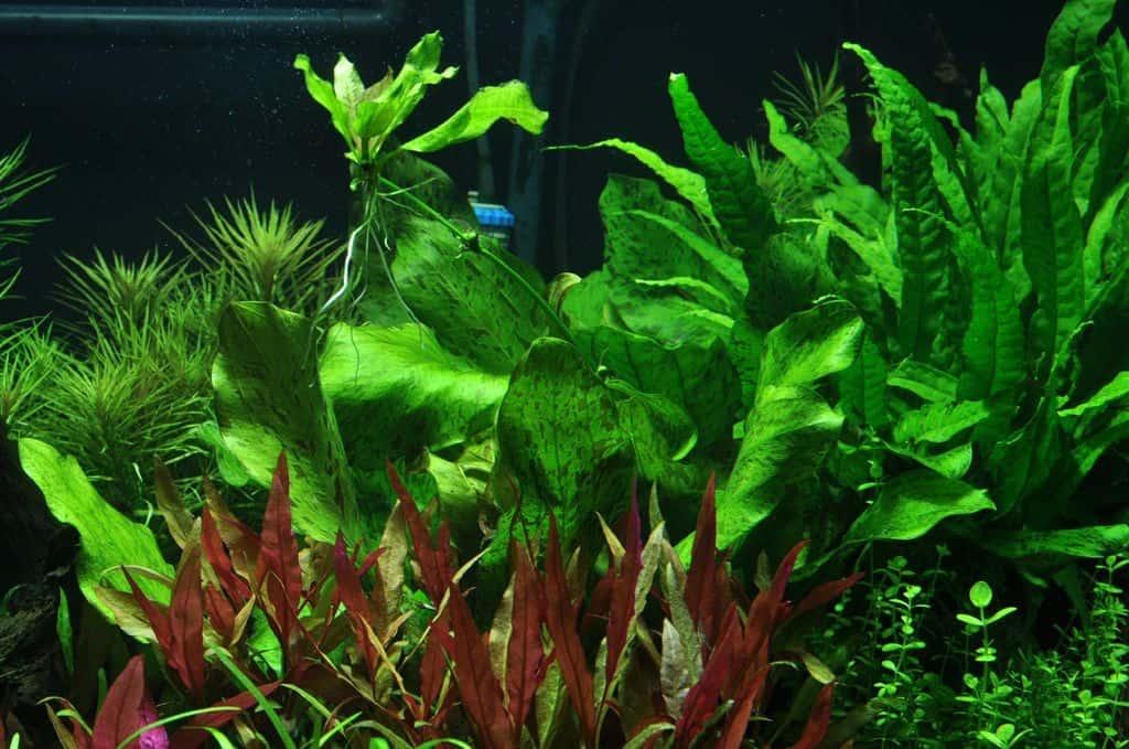 Pflanzen f u00fcr den Hintergrund   my fish