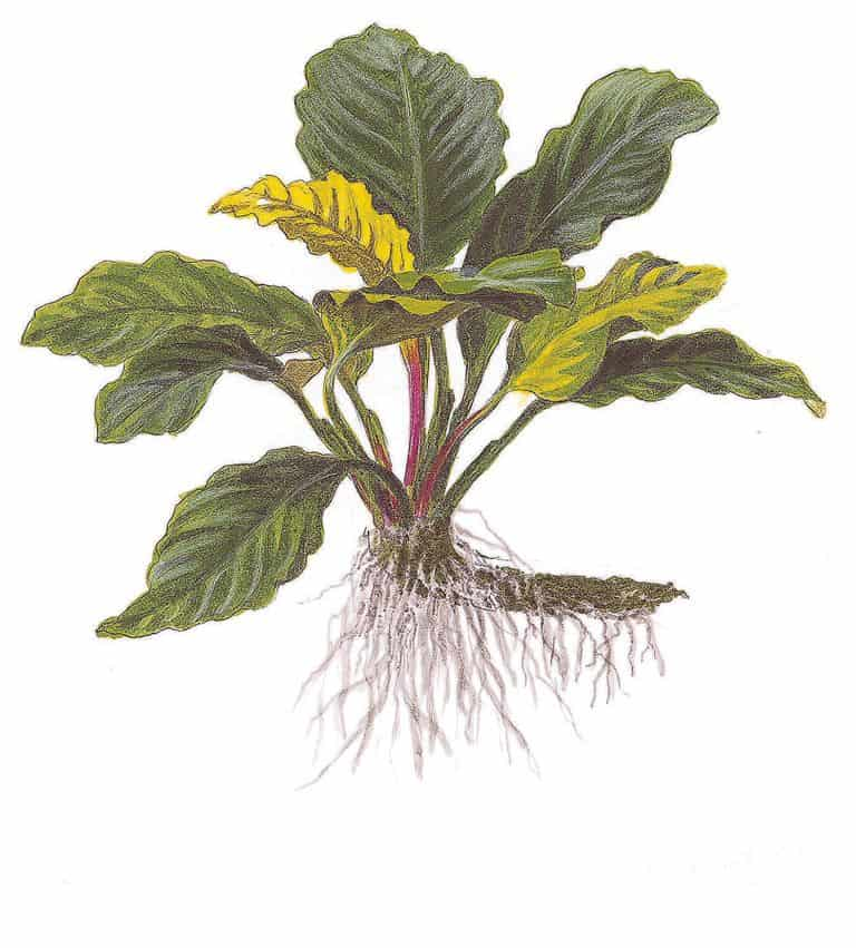 Anubias barteri var. coffeefolia 1